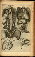 Organs of the thorax and abdomen, non human; heart and lungs of the human fetus