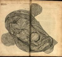 Uterus, fetus and amnion of a horse
