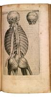 Back muscles, ribs, skull with atlas and axis