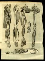 Bones and muscles of the leg and foot