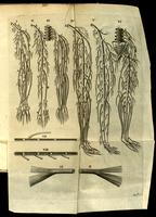 Nerves of the arm and leg, veins