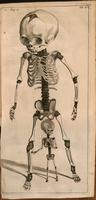 Fetal skeleton, infant skeleton