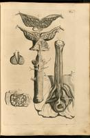 Penis, seminal vesicles, and prostate, muscles of the perineum