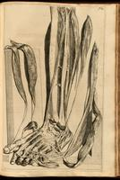 Muscles and tendons of the lower leg and foot