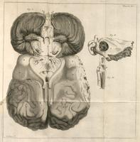 Brain, cranial nerves, and labyrinth