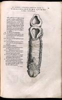 Uterus, cervis and vagina