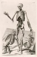 Skeleton, muscles