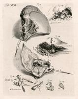 Temporal bone, ear ossicles