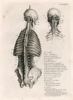 Muscles of the back, skull, ribs and pelvis