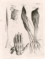 Muscles and tendons of the arm and hand