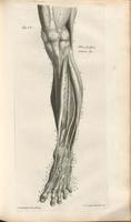 Muscles and arteries of the lower leg and foot