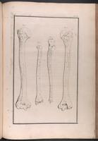 Humerus, radius and ulna