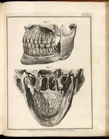 Maxilla, mandible and teeth