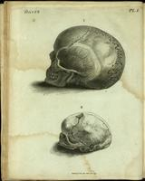Skull, adult and infant