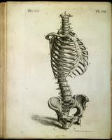 Spine, pelvic bones, ribs, sternum, clavicle and scapula
