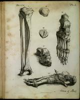 Bones of the lower leg and foot