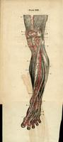 Arteries and tendons of the lower leg