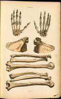 Bones of the hand and arm