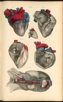 Heart, superior and inferior vena cava, and aorta