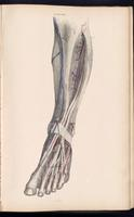 Dissection of the lower leg
