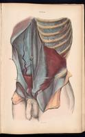 Muscles of the abdomen and thorax