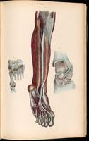 Dissection of lower leg and foot, and ankle joint