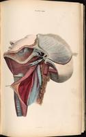 Dissection of the neck, neck muscles and masticatory muscles