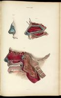 Dissection of the nasopharynx and oropharynx