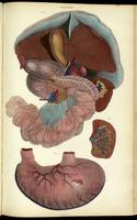 Organs of the abdomen