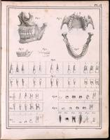 Teeth, maxilla and mandible