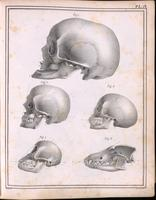 Skulls; geriatric, caucasiod and negroid adult, orangutan, and dog