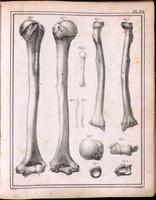 Humerus and radius of an adult and fetus