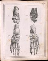 Foot bones and ankle joint, joints of the toes