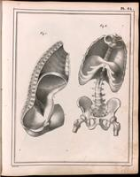 Thorax, abdominal and pelvic cavities, diaphragm