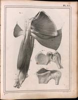 Muscles of the shoulder, shoulder joint