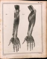 Muscles of the forearm and hand