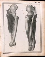 Muscles of the thigh