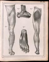 Muscles and fascia of the leg and foot