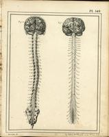 Brain, spinal cord and spinal nerves, with skull and sacrum