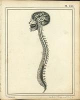 Brain, spinal cord and cauda equina, with skull and vertebrae