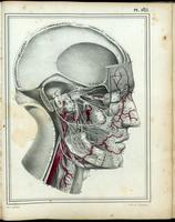 Dissection of the head and neck, cranial nerves, arteries
