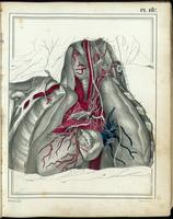 Dissection of the thorax; heart, lungs, vagus nerve