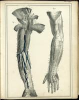 Muscles and nerves of the arm