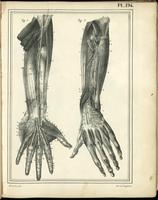 Muscles, tendons and nerves of the arms and fingers