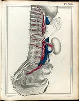 Torso with sympathetic ganglia and lumbosacral plexus, and vagus nerve