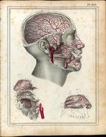 Arteries of the head and face