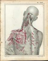 Arteries of the neck and back
