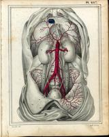 Abdomen; aorta, iliac arteries, and male urinary system