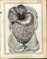 Abdomen; liver, gallbladder, stomach and omentum
