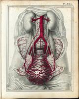 Abdomen and pelvis, blood supply to the gravid uterus